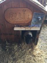 Schwein Elli im Stall